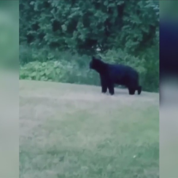 Black_bear_sightings_in_Victor__Farmingt_0_20180606221454-118809282